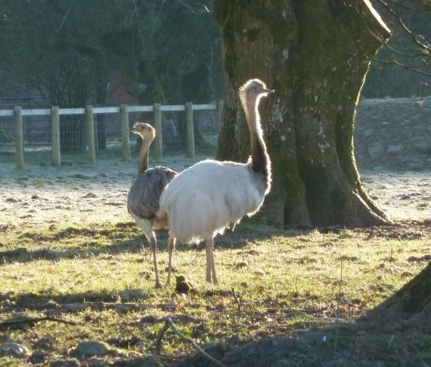 Emus at Westerkirk Mains