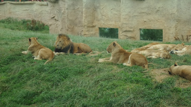 Lions at Flamingo land