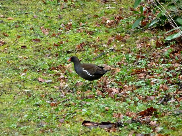 Wallington hall moorhen