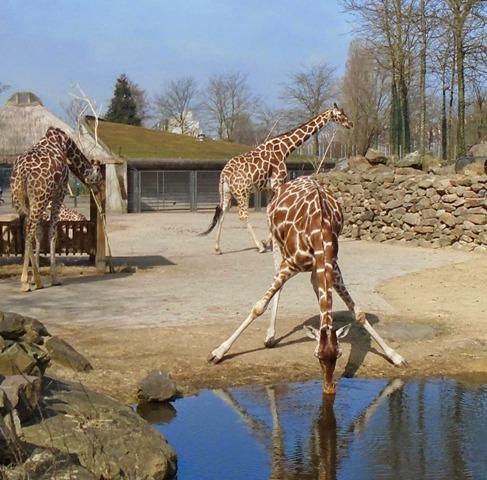 Giraffes at Amsterdam zoo