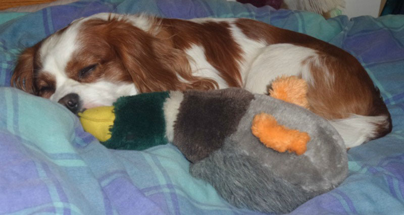 Eddie, the king charles spaniel asleep with his duck