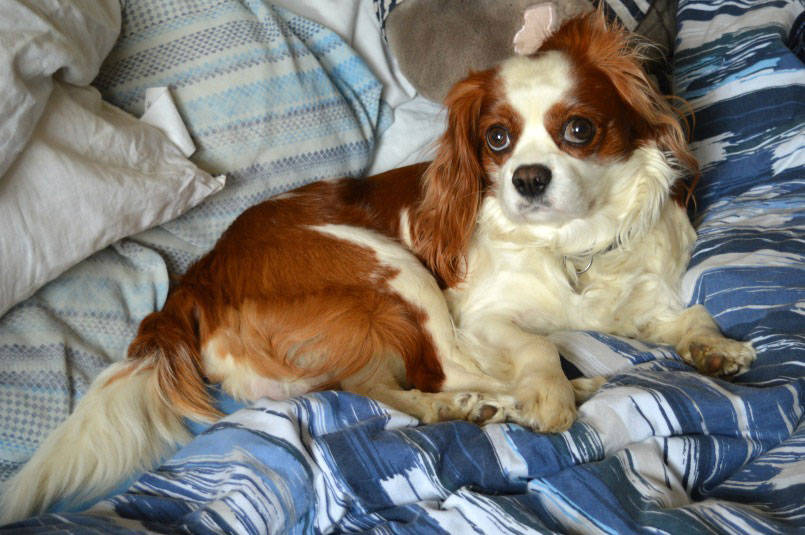 Cavalier King Chales Spaniel