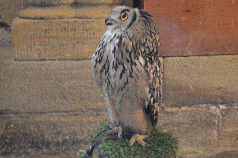 Owl at Medieval Mischief