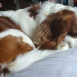 King Charles Spaniel sleeping