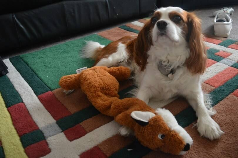 Playing with your dog cavalier king charles