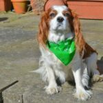 King Charles Spaniel in patio
