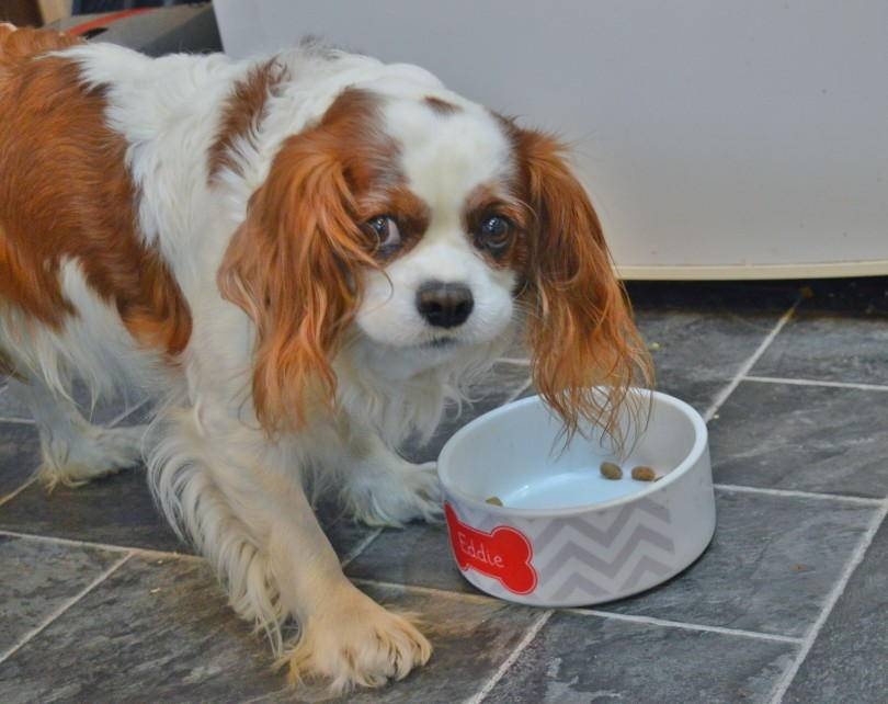 Dog eating freshpet dog food
