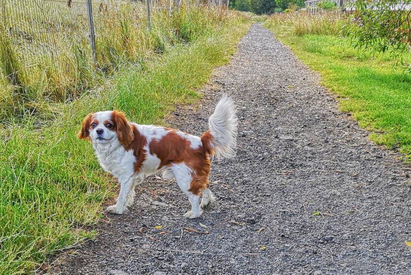 A dog day in the life of Eddie, the King Charles Spaniel