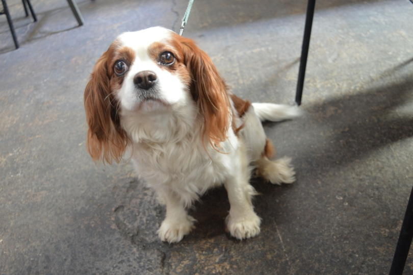 Cavalier King Charles Spaniel at the Tyne Bank Brewery Dog Social