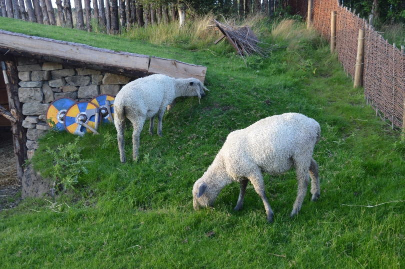 Two sheep with dreadlocks in the viking village at Kynren. They are grazing by a shed.